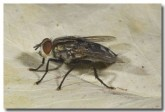 flesh-fly-lle-132-copy