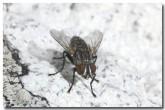 flesh-fly-lle-133-copy