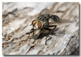 flesh-fly-zuytdorp-lle-712-copy