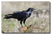 forest-raven-cad-504