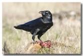 forest-raven-cad-505