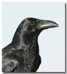 forest-raven-cad-725