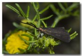 forester-moth-zygaenidae-aad-422-web-copy