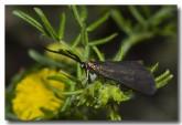 forester-moth-zygaenidae-aad-422-web-copy