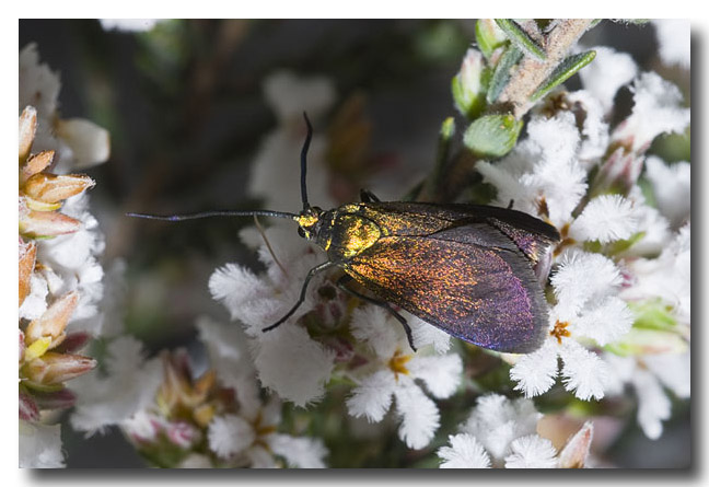 Satin-green Forester Moth
