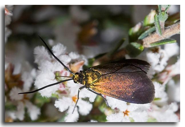 Satin-green Forester Moth