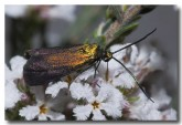 forester-moth-zygaenidae-llf-523-web-copy