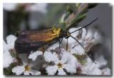 forester-moth-zygaenidae-llf-523-web-copy