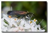 forester-moth-zygaenidae-llf-524-web-copy