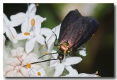 forester-moth-zygaenidae-llf-525-web-copy