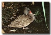 freckled-duck-bz-015-copy