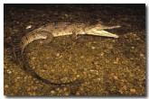 fresh-crocodile-ak-276-copy