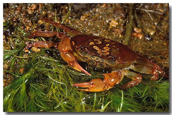 (LC-683) Freshwater Crab