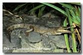 freshwater-crocodile-af-698-copy