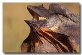 frill-necked-lizard-ac-703-copy