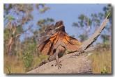 frill-necked-lizard-ac-740-copy