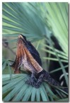frilled-neck-lizard-aa-882-copy