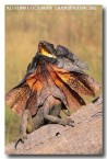 frilled-neck-lizard-ad-718-copy
