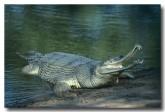 gharial-sundarbans-np-qe-220-web-copy