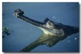 gharial-sundarbans-np-qe-221-web-copy