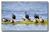 glossy-ibis-and-grey-teals-llg-310-web-copy