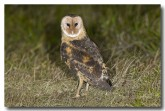 grass-owl-llg-895-b-web-copy