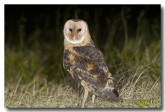 grass-owl-llg-896-web-copy