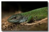 green-lizard-xa-360-copy