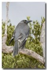 grey-currawong-llg-900-web-copy