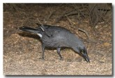 grey-currawong-llg-903-web-copy