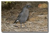 grey-currawong-llg-905-web-copy