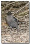 grey-currawong-llg-906-web-copy