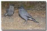 grey-currawong-llg-907-web-copy