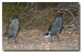 grey-currawong-llg-908-web-copy