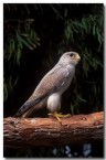 grey-falcon-sv-012-copy