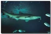 grey-nurse-shark-cb-755-copy