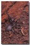handronyche-arborensis-em-601-copy
