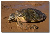 hawskbill-turtle-lm-253-copy