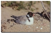hooded-plover-hc-874-copy