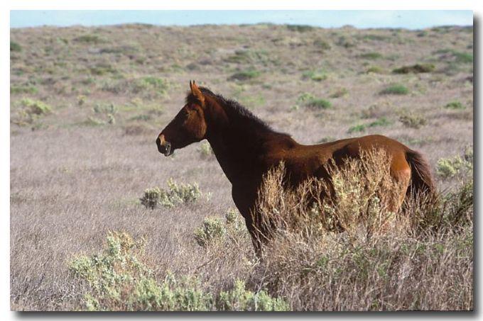 Wild Horses – Brumbies