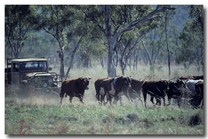 (HW-730) Cattle mustering