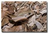 hylidae-litoria-nasuta-rocket-frog-llh-824-web-copy