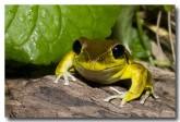 hylidae-litoria-wilcoxii-stony-creek-frog-llg-928-webs-copy