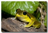 hylidae-litoria-wilcoxii-stony-creek-frog-llg-929-web-copy