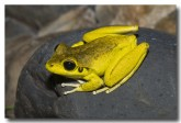 hylidae-litoria-wilcoxii-stony-creek-frog-llg-931-web-copy