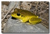 hylidae-litoria-wilcoxii-stony-creek-frog-llg-932-web-copy