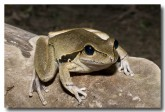hylidae-litoria-wilcoxii-stony-creek-frog-llh-817-web-copy