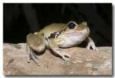 hylidae-litoria-wilcoxii-stony-creek-frog-llh-818-web-copy