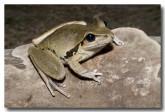 hylidae-litoria-wilcoxii-stony-creek-frog-llh-819-web-copy