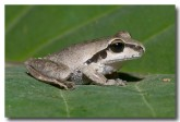 hylidae-litoria-wilcoxii-stony-creek-frog-llh-820-web-copy